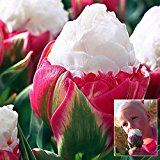 Bluelover 1pcs Double Petal Pink White Ice Cream Tulip Bulb Garden Courtyard Tulipa Gesneriana Seed