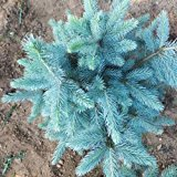Bluelover 30pcs Colorado Blue Spruce Tree Seeds Picea pungens Fir Plant